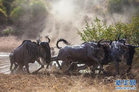 数以百万计的食草动物从坦桑尼亚的塞伦盖蒂向肯尼亚