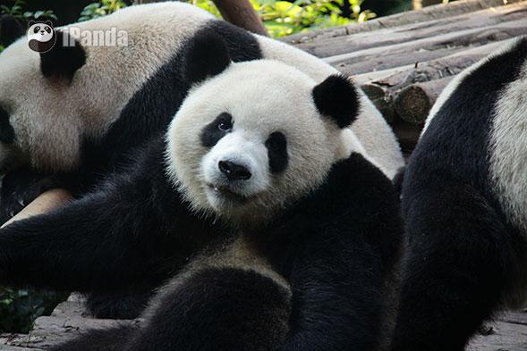 熊猫吃竹子手工制作图片