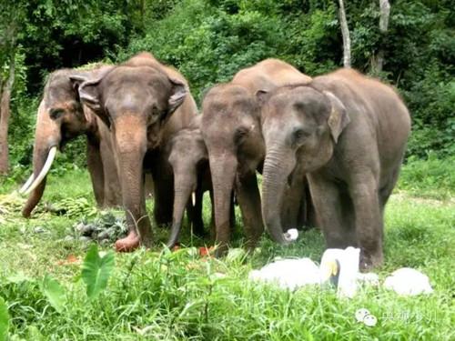 大象最爱吃什么 《最野假期》告诉你