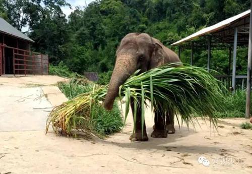 大象最爱吃什么 最野假期 告诉你