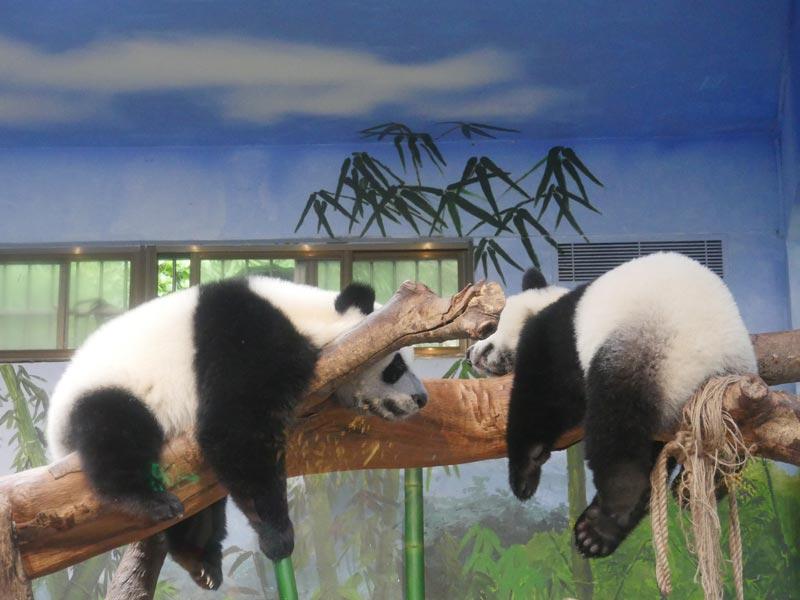 兩只熊貓寶寶趴在樹干上午休
