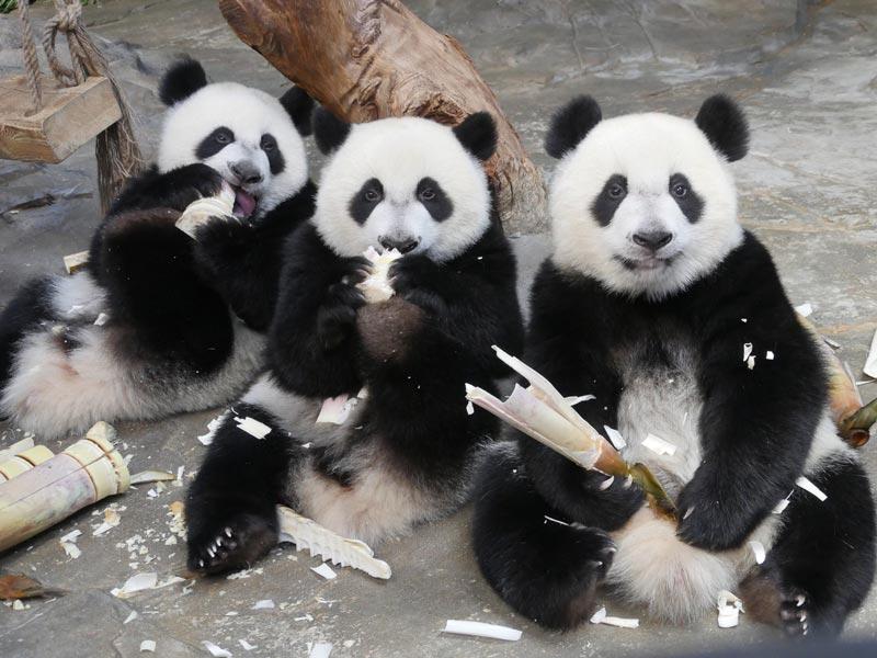 熊貓三胞胎吃竹筍,萌化了!