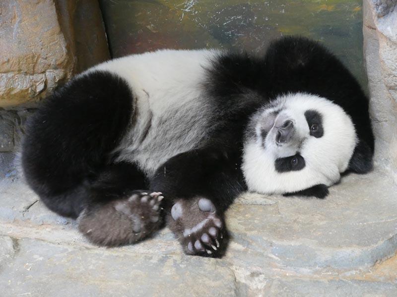 熊貓寶寶對著鏡頭玩耍