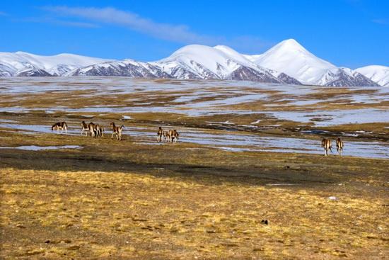 """Résultat de recherche d'images pour """"hoh xil nature reserve"""""""