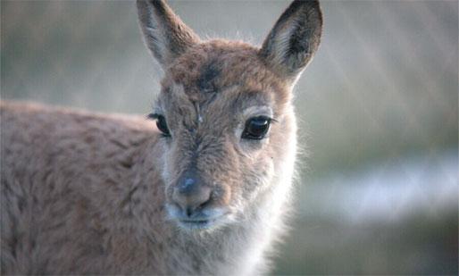 在可可西里自然保护区一睹高原精灵藏羚羊的风采
