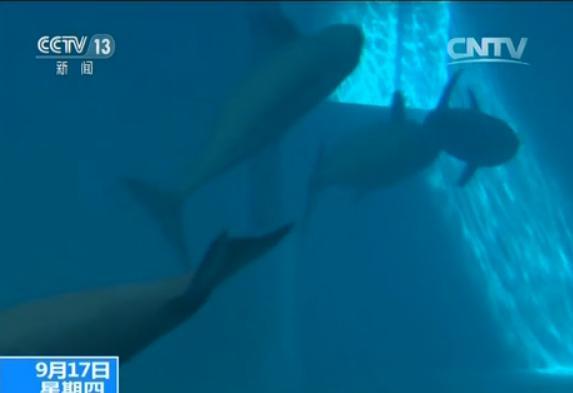 也被宣告功能性灭绝,江豚成为长江中唯一的鲸类动物