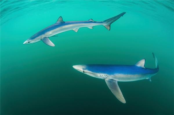 """海洋和海生动物类别:paul colley,""""静谧中的蓝鲸"""""""