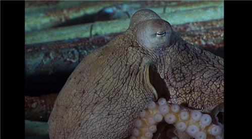 章鱼无骨骼身体构造