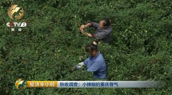 在重庆市石柱县马武镇金鑫村,眼下正是辣椒成熟的季节.