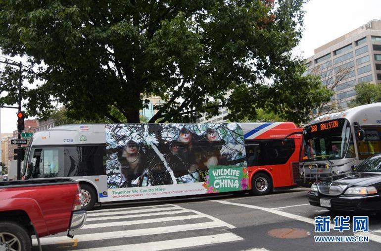 9月21日,在美国首都华盛顿,一辆印有金丝猴公益广告的公交车在街上行驶。(新华社记者鲍丹丹摄)