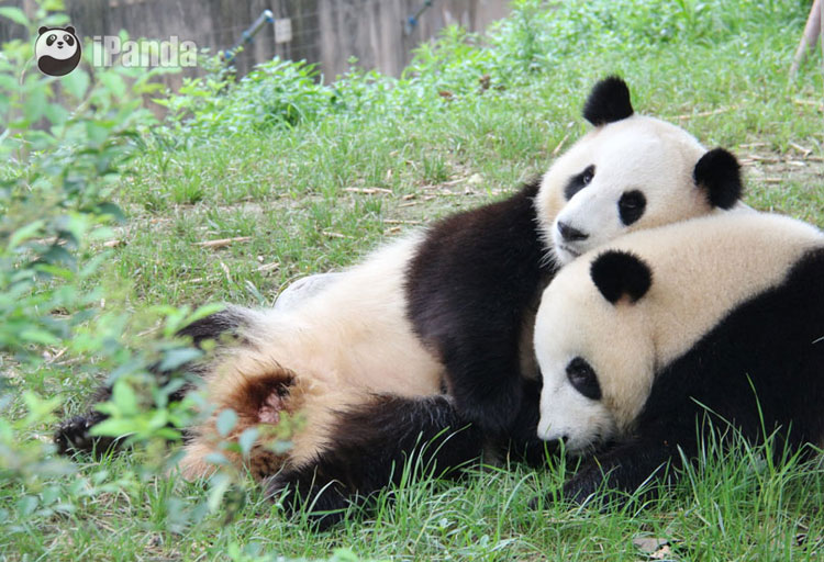 """和琪和美   据贵阳野生动物园介绍,根据初步掌握的情况,新引进的两只大熊猫均为雌性,分别叫和琪、和美,是一对同在2011年8月12日出生的姐妹花,现年已经4岁,相当于人20岁左右的年龄。经国家林业局批准,同意这两只大熊猫从成都引进贵阳。   9月24日7:45,和琪与和美将从成都双流国际机场乘坐飞机到达贵阳,居住期限至少3年。(贵阳日报)   相关链接:   """"疯四""""成员之""""和琪"""""""