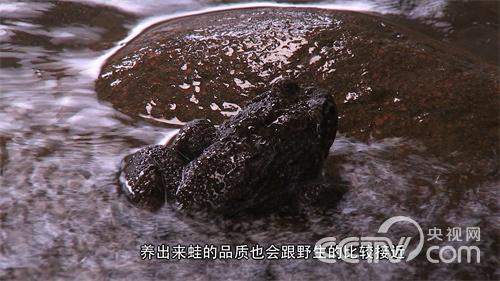 [致富经]石蛙赚钱顶呱呱