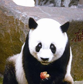 壁纸 大熊猫 动物 狗 狗狗 350_355