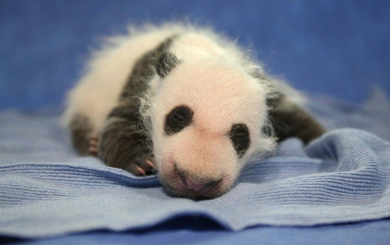 """熊猫幼崽""""贝贝"""" (图片来源:华盛顿国家动物园)"""