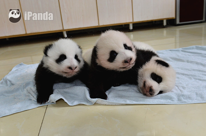 中国保护大熊猫研究中心 衡毅 摄