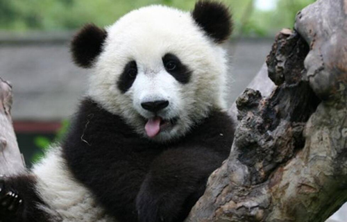 如果一切顺利,韩国小朋友或许明年上半年就能看到这对可爱的大熊猫