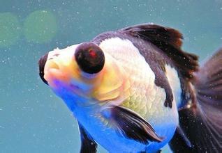 渔业博览会汇聚了各种珍奇鱼类。图为熊猫蝶尾。(
