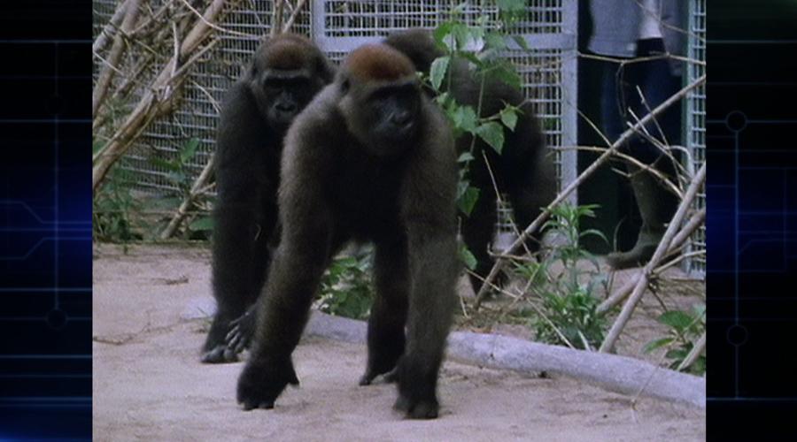 大猩猩神秘莫测,与人类相像,容易受惊,善于躲藏。它们的生活方式正面临威胁,而我们可能掌握了它们生存的关键。今天的故事将讲述的是大猩猩的生存现状——探秘山地大猩猩。 1、银背大猩猩 大猩猩以家庭为中心,首领是父亲。它是群落中体型最大的,身上长着代表成年的银色毛发,所以也叫作银背大猩猩。通常,一只银背大猩猩会拥有5、6个配偶。它一生中大约会有12个孩子。这一家子有20名成员,是个普通的家庭,却也是世上最后的山地大猩猩家庭之一。现在,世界上仅剩约600只山地大猩猩了。 2、首次发现大猩