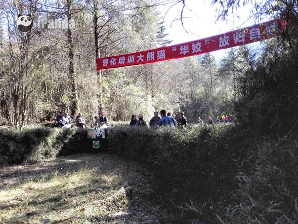 """大熊猫""""华姣""""在栗子坪国际级自然保护区放归 图为放归现场 图片/熊猫频道向虹霖摄"""