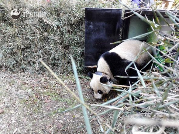 """大熊猫""""华姣""""小心翼翼试探之后 快速跑向了树林深处  图片/熊猫频道向虹霖摄"""