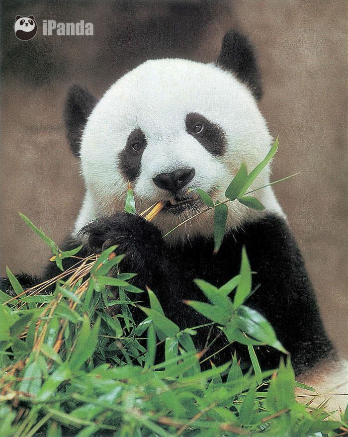 """熊猫明星""""巴斯""""(图片来源:福州熊猫世界、中品国际)"""