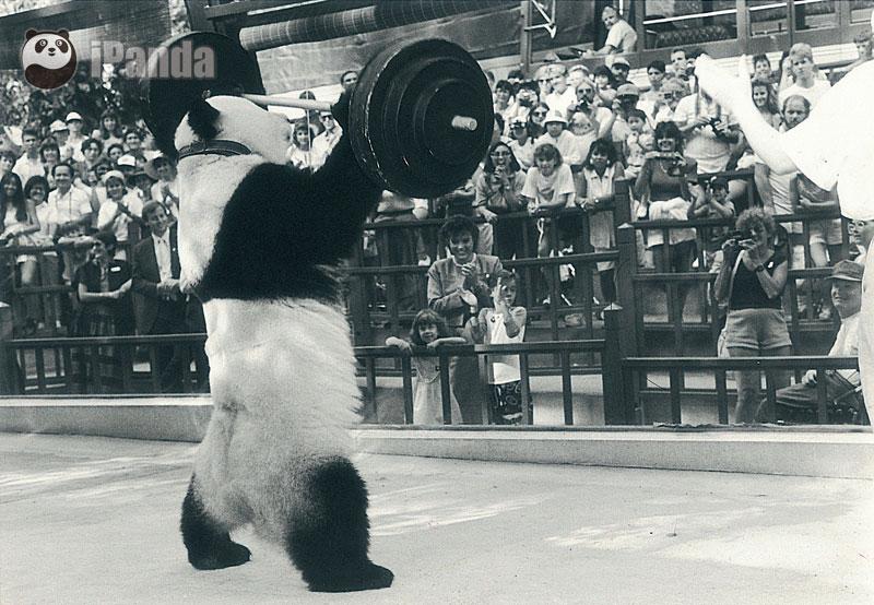 """""""巴斯""""在美国演出 图片由海峡(福州)熊猫世界提供"""