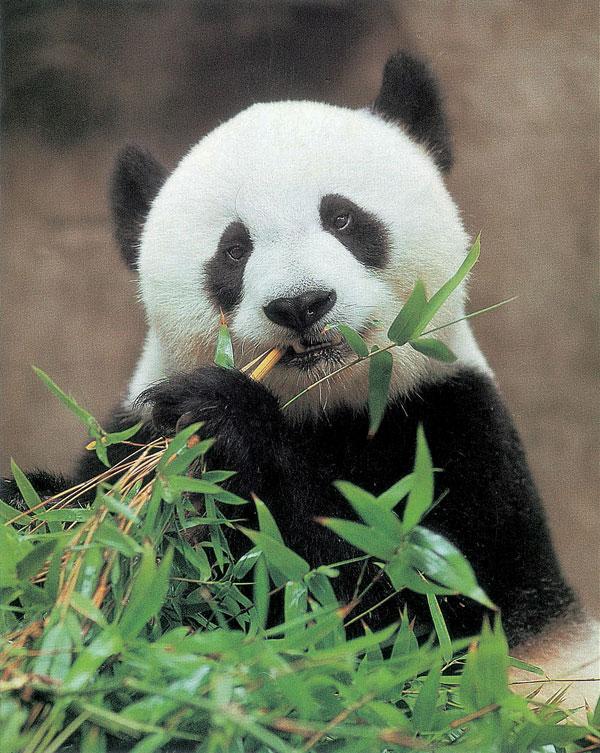 """熊猫""""巴斯"""" 图片由海峡(福州)熊猫世界提供"""