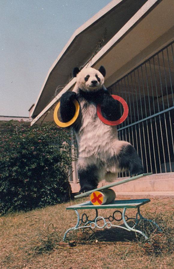"""""""巴斯""""表演节目。图片由海峡(福州)熊猫世界提供"""