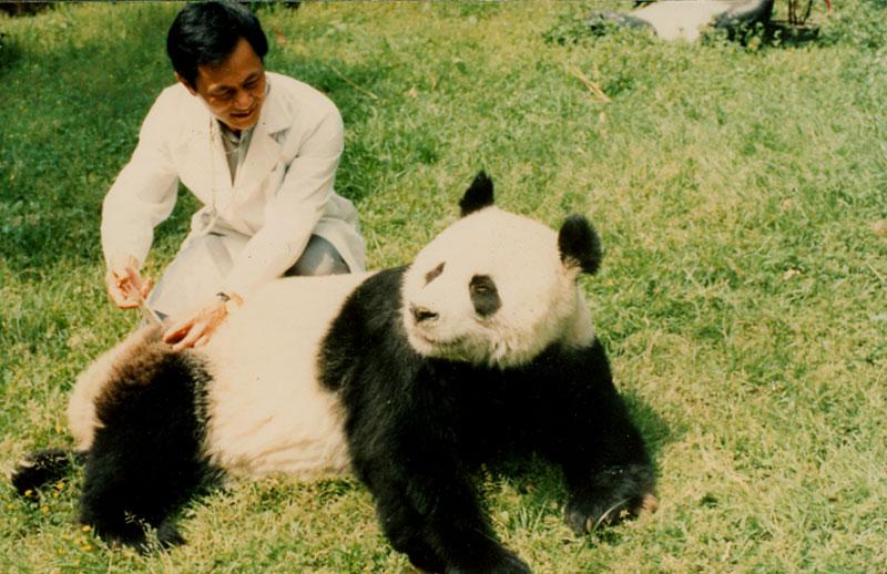 """""""巴斯""""打针 图片由海峡(福州)熊猫世界提供"""