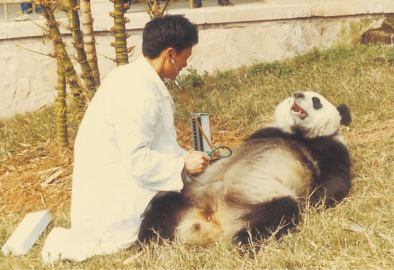 """2000年,""""巴斯""""成为世界上首例被发现患有高血压的大熊猫。"""