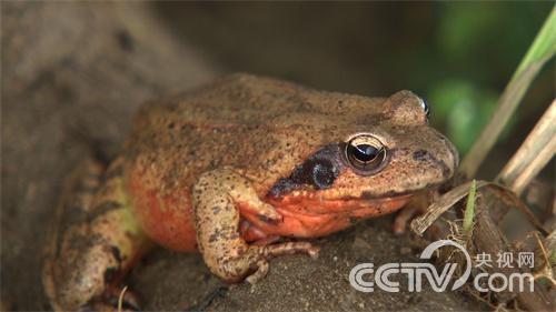 深山老林里的林蛙财富