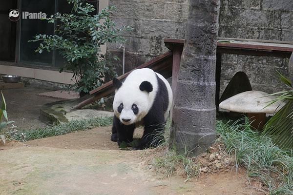 """正在缓慢行走的""""巴斯"""" 图片/熊猫频道记者李宁远摄"""