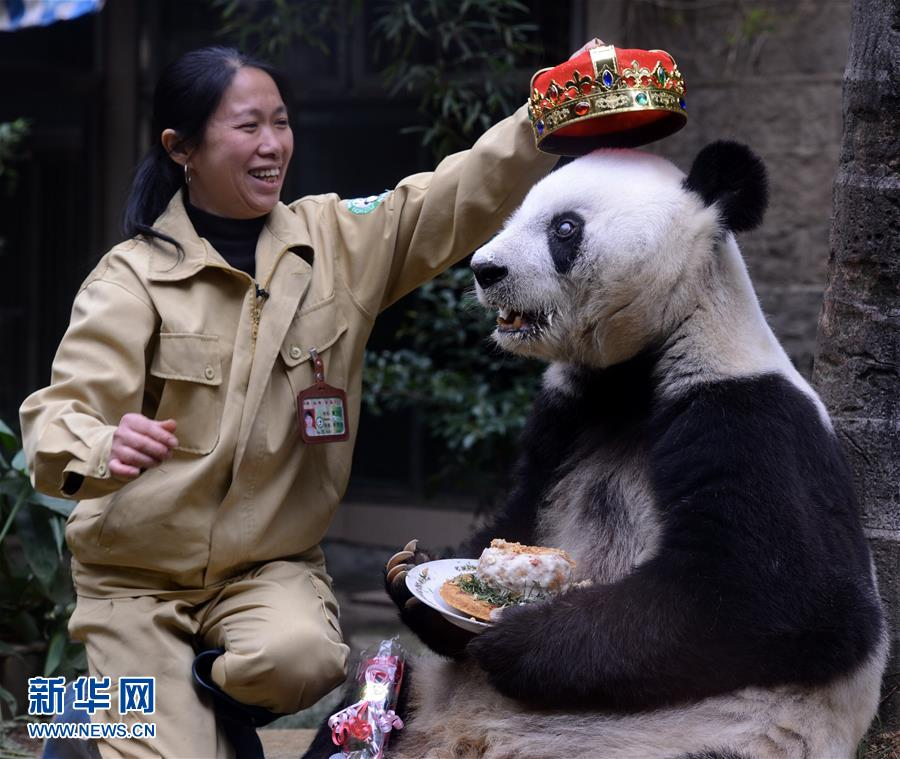 The photo taken on on Nov. 28, 2015 shows giant panda Basi eating a cake at the panda research and exchange center in Fuzhou, capital of southeast China