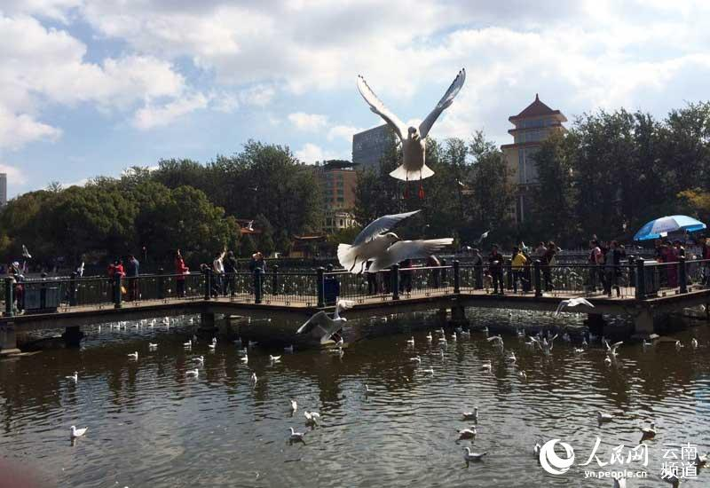红嘴鸥成昆明冬天一道美丽的风景.市民刘小姐拍摄