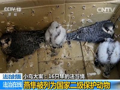 在我国,燕隼被列为国家二级保护动物