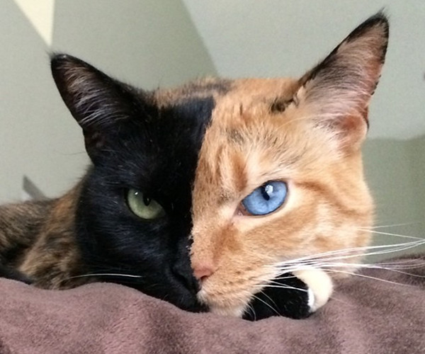 Venus, el misterioso gato con la cara de dos colores