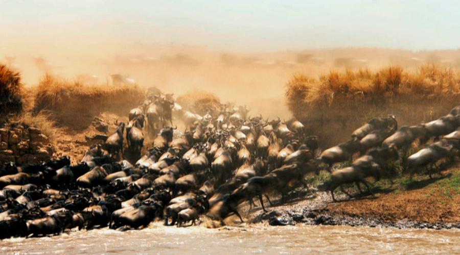 在塞伦盖蒂平原上,一头新出生的角马将要开始踏上这个地球上最伟大的动物迁徙旅程。大约有五十万头小角马将跟随它们的父母,行进3000千米,跨越非洲大陆,完成这史诗般的迁徙。这是一次发现之旅,其间充满着未知的危险。在这段旅程中,只有少数能够活下来。不过,那些经历千难万险活下来的,最终将会回到它们出生的地方,那时的它们都已经成年。 塞伦盖蒂大平原位于非洲的最东部,这里是草的王国。草原面积广大,能够养活的食草动物的数量是世界最多的。在雨季,会有多达一百三十万头角马聚集于此。对于角马来说,塞伦盖蒂草原是完美的育儿场
