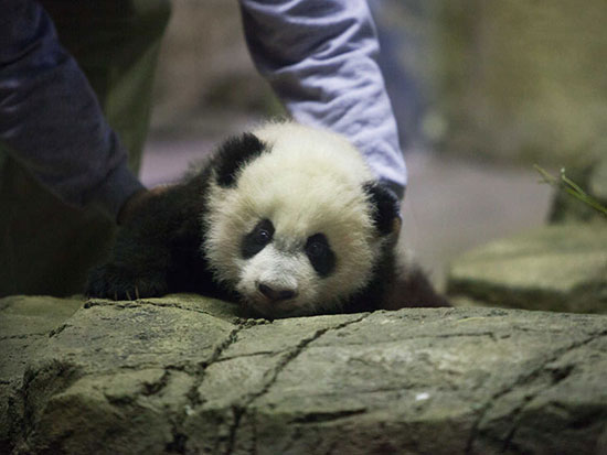 Giant Panda cub Bei Bei is shown to the media by giant panda keeper Juan Rodriguez (C) at the Smithsonian National Zoo in Washington December 16, 2015. Bei Bei is four months old and weighs 17 pounds.