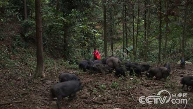 黑山猪逃上山之后
