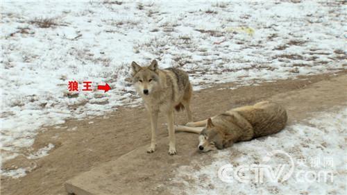 养狼的财富