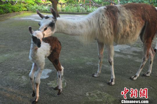 深圳野生动物园羊驼家族新年添丁(图)