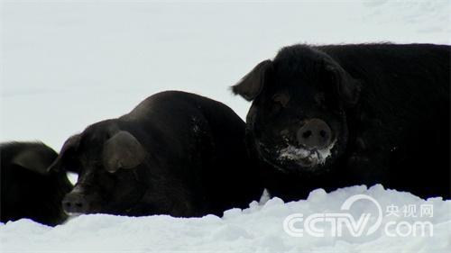 [致富经]林海雪原斗野猪