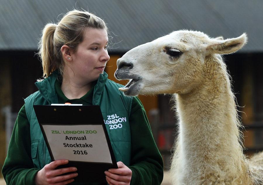 Une employée du zoo face à un lama, le 4 janvier 2016