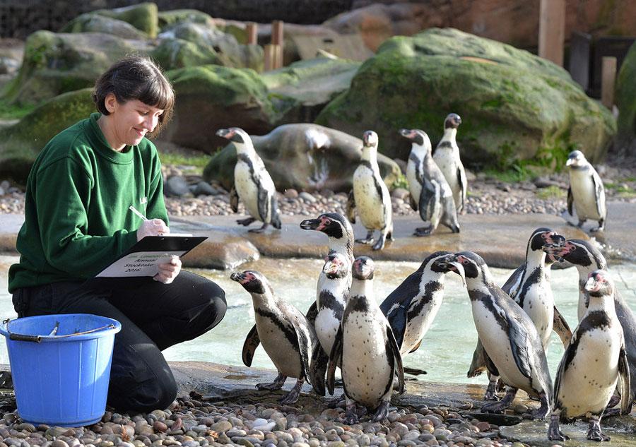 Des manchots du zoo de Londres, le 4 janvier 2016