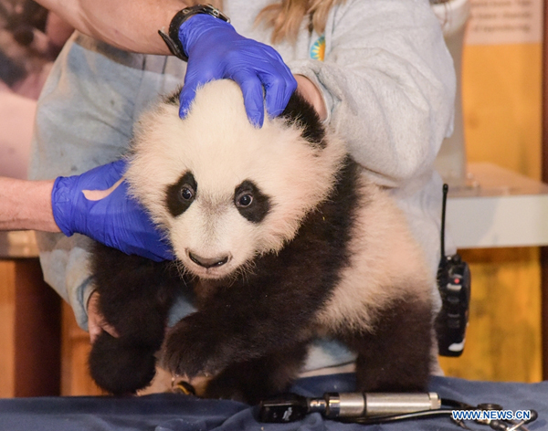 """Etats-Unis: le panda """"Bei Bei"""" reçoit un examen physique"""