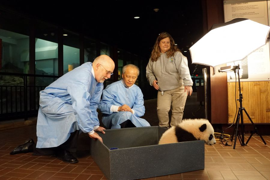 The Chinese ambassador to the United States, Cui Tiankai, was invited to make an early visit, to check out if Beibei is ready to become China