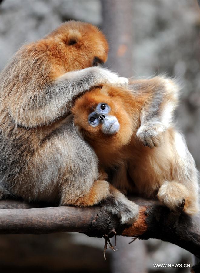 Les singes dorés de la Vallée des Pandas de Foping