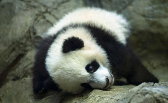 Thousands get first look at baby panda in Washington