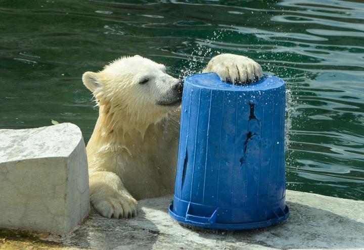 Un ours polaire a soif au zoo de Moscou