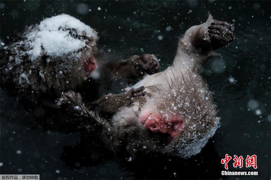 Japon : des macaques se détendent dans une source chaude